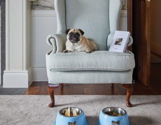pet dog sat on an armchair in madeira, Portugal - Belmond Reid's Palace pet policy