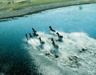 Luftbild von Zebras, die durch die Sümpfe Botsuanas rennen