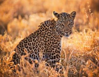 Leopardo sentado no meio da grama alta e de frente para a câmera