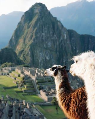 Close up of two llamas at Machu Picchu