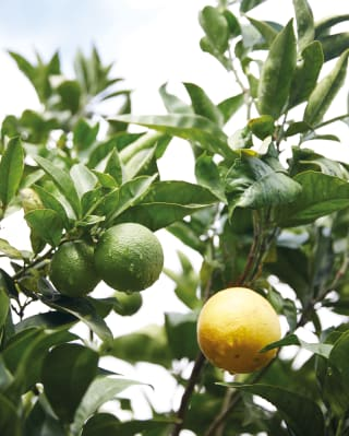 close up detail of a lemon tree from the gardens surrounding Caruso